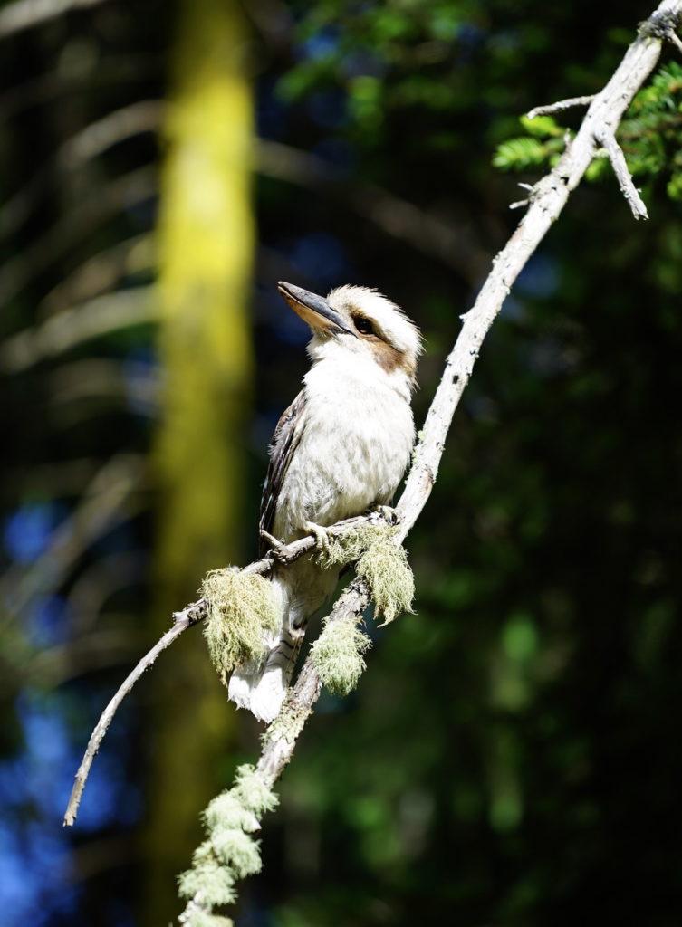 Kookaburras überall