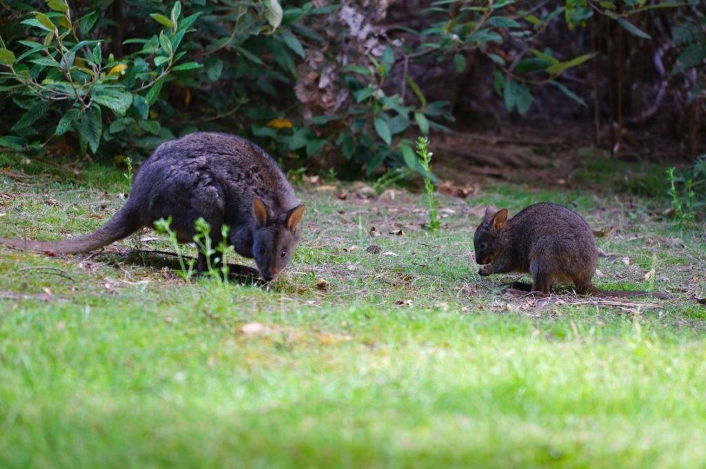 Noch süsser als ein Wallaby ist ein Baby-Wallaby