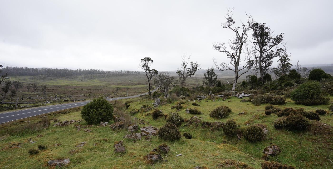 Tristesse in einem sterbenden Eukalyptuswald