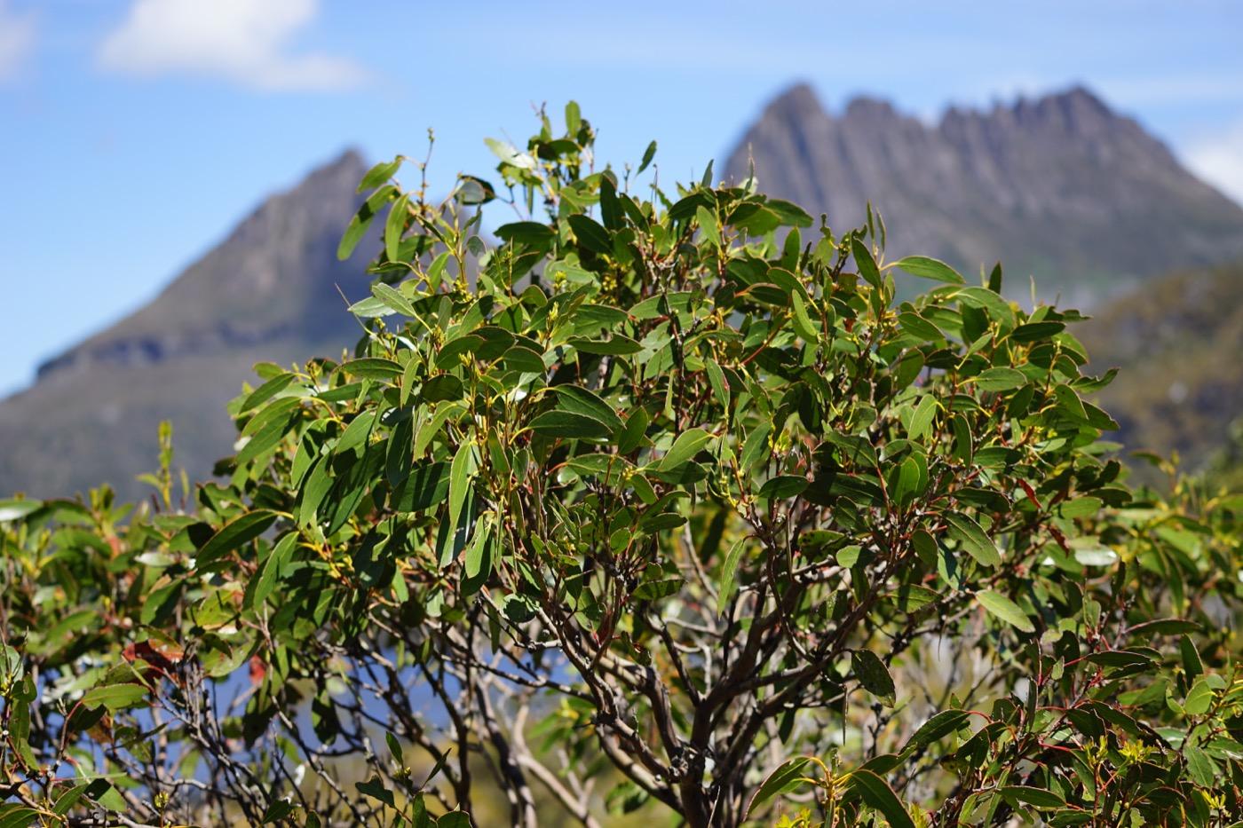 Wohlriechender Eukalyptusbaum vor dem Cradle Mountain