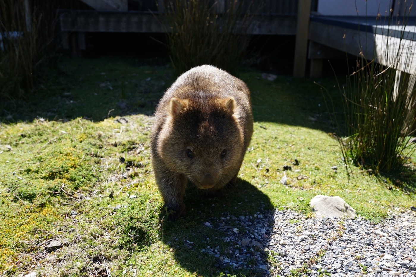 Wombat approaching