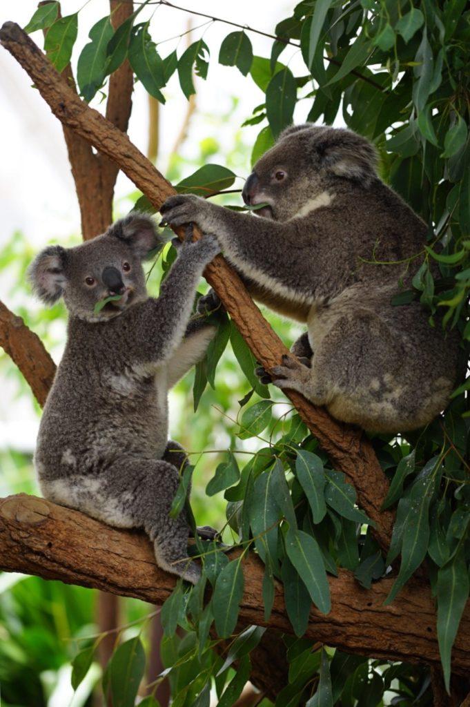 Lass uns heute Eukalyptus fressen