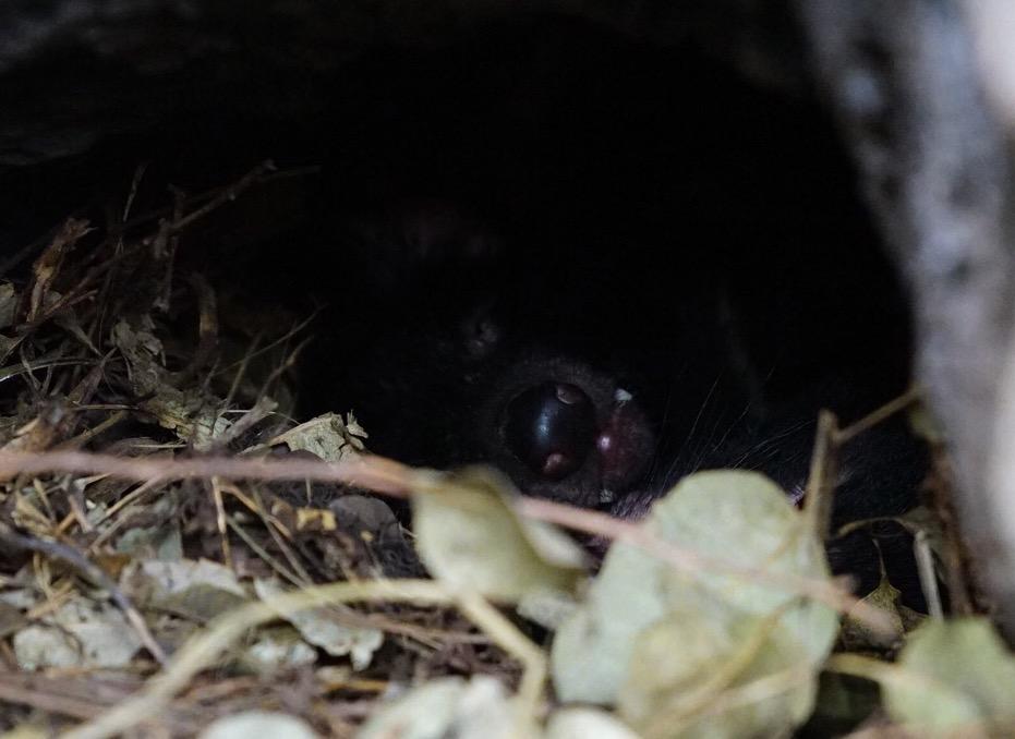 Von den Tasmanischen Teufeln ist nur eine Schnauze mit Zähnchen zu sehen